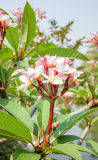 Close up of frangipani flower or Leelawadee flower Royalty Free Stock Images