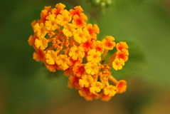 Close up of frangipani flower or Leelawadee flower. Alan beautiful flowers flowering of Siam, Bangkok Stock Images
