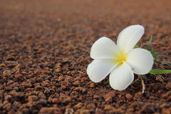 Close up of Frangipani flower Royalty Free Stock Photography