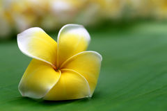 Close up of frangipani Royalty Free Stock Photos