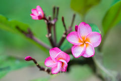 Close-up of Frangipanis Royalty Free Stock Images