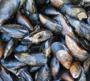 Close up of freash Mussels Stock Photo