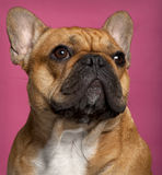 Close-up of French Bulldog, 1 year old Royalty Free Stock Photos