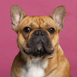 Close-up of French Bulldog, 1 year old Stock Photography