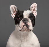 Close-up of French Bulldog, 1 year old Stock Image