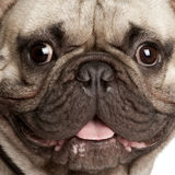 Close-up on a French Bulldog Stock Images
