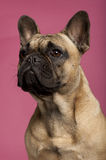 Close-up of French Bulldog, 11 months old Royalty Free Stock Images