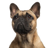 Close-up of French Bulldog, 11 months old Stock Photography