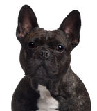 Close-up of French bulldog Royalty Free Stock Image