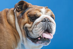 Close-up of French Bulldog. 3 Years old, in front on blue background Stock Images