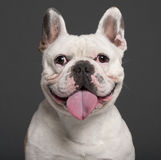 Close-up of French Bulldog, 3 years old Stock Photos