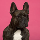 Close-up of French Bulldog, 5 years old Stock Image