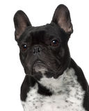 Close-up of French bulldog, 5 years old Royalty Free Stock Photos