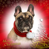 Close-up of a French bulldog on christmas background Stock Image