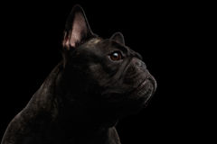 Close-up French Bulldog Dog like Monster in Profile view Isolated. On black background Stock Photos