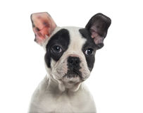 Close-up of a French Bulldog Stock Images