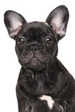 Close-up of French bulldog Royalty Free Stock Photos