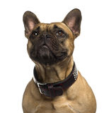 Close-up of a French Bulldog looking up Stock Photo