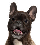 Close-up of French Bulldog panting, 5 years old Stock Images