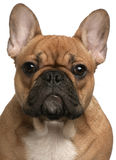 Close-up of French Bulldog puppy Royalty Free Stock Image