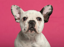 Close-up of French Bulldog puppy, 4 months old Stock Photography