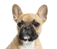 Close up of a French Bulldog puppy, isolated Royalty Free Stock Images