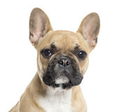 Close up of a French Bulldog puppy looking at the camera Royalty Free Stock Photography