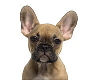 Close-up of a French Bulldog puppy looking at the camera Royalty Free Stock Images