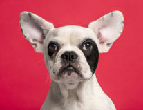 Close-up of a French Bulldog puppy (6 months old) Royalty Free Stock Photos