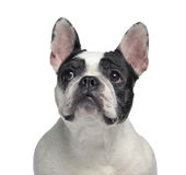 Close-up of a French Bulldog, 6 years old Royalty Free Stock Photo