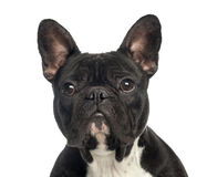 Close-up of a French Bulldog, 2 years old Stock Photography