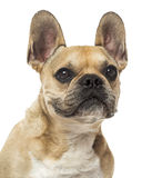 Close-up of a French Bulldog, 8 years old, isolated Royalty Free Stock Images