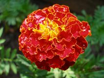 French marigold with droplets. Close-up of french marigold with droplets Royalty Free Stock Image