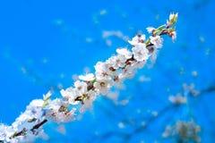 Close-up fresco da flor da árvore de cereja da mola no backgrou do borrão do bokeh Imagens de Stock