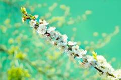 Close-up fresco da flor da árvore de cereja da mola no CCB colorido do bokeh Imagens de Stock