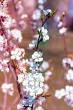 Close-up fresco da flor do ramo da cereja da mola no backgr do borrão do bokeh Foto de Stock Royalty Free