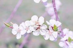 Close-up fresco da flor do ramo da cereja da mola no bokeh colorido b Fotografia de Stock Royalty Free