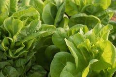 Close up fresco da planta da alface Imagem de Stock Royalty Free
