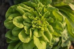 Close up fresco da planta da alface Imagens de Stock