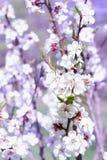 Close-up fresco das flores da flor de cerejeira da mola no backg do borrão do bokeh Imagem de Stock Royalty Free