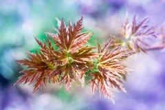 Close-up fresco das folhas de bordo da mola no fundo colorido do bokeh Foto de Stock