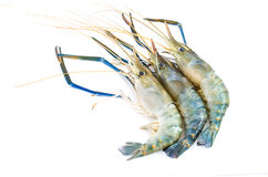 Close up fresco do camarão isolado fotos de stock