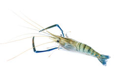 Close up fresco do camarão isolado imagem de stock royalty free
