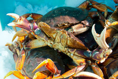 Close up fresh Alaskan Crabs are preserved in ice Royalty Free Stock Photography