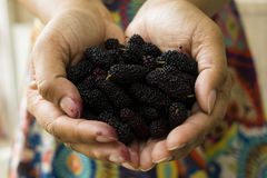 Close up fresh black mulberry on hand Note: Shallow depth of fie. Female hands holding tasty ripe mulberries, Note: Shallow depth of field Royalty Free Stock Photos