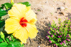 Close-up of fresh blooming orange flower, hibiscus in garden Royalty Free Stock Photo