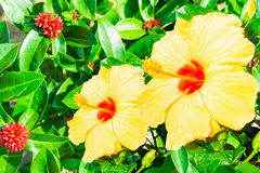 Close-up of fresh blooming orange flower, hibiscus in garden Stock Image