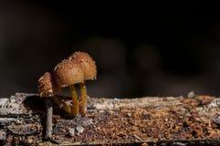 Fresh mushrooms on a log. Close-up on fresh brown mushrooms on a log Stock Photography
