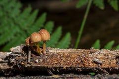 Fresh mushrooms on a log. Close-up on fresh brown mushrooms on a log Stock Photos