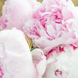Close up of Fresh bunch of pink peonies on white background Stock Photo